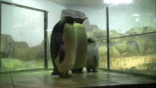 #2-4 Dec 2017 Emperor penguin at Adventure world, Japan