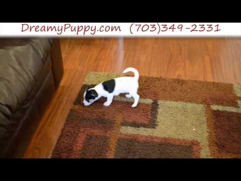 Spunk Jack Russell Terrier Male Puppy
