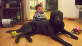 👼 BABY 👼 Plays With 🦏 90 Lbs 🐺LABRADOR 🐘