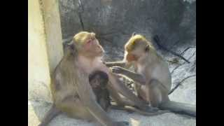 preview picture of video 'Sweet Macaque Family in PKK, Thailand -- Breasfeeding!! Prachuap Khiri Khan'