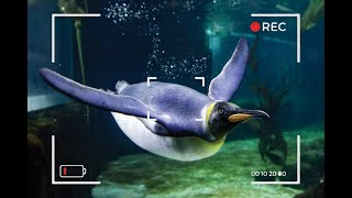 Penguin Live Stream with Keeper Amy | SEA LIFE Sydney Aquarium