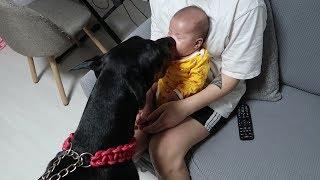 아기를 처음본 도베르만 반응