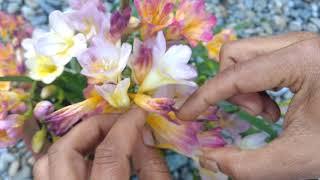 How to take care of Freesia flower