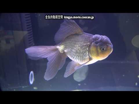 [青文魚]第28回日本観賞魚フェア 弐歳魚の部 優勝