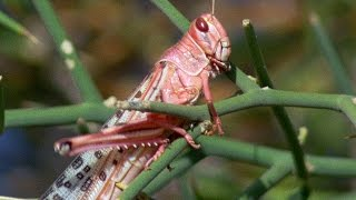 Swarm Of Locusts Devour Everything In Their Path - Planet Earth - BBC Earth