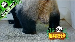 IPanda Recommends The Moment Of A Panda Being Born