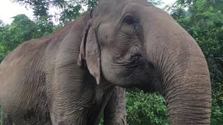 🐘 75-Year Old Rescued Elephant is Happier than EVER - Elephant Nature Park, Chiang Mai, Thailand