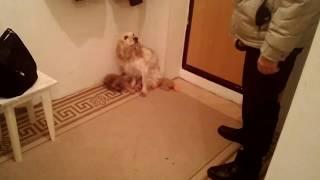 Собака как человек!!! Все понимает! Смешное видео