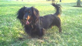Long Haired Black And Tan Dachshund