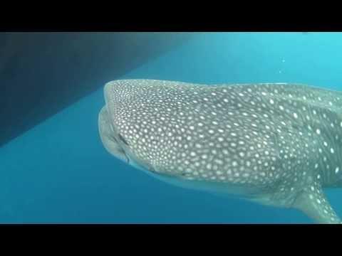 Schnorcheln mit Walhaien, Süd Ari-Atoll,Malediven