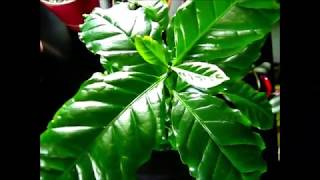 COFFEE PLANT CARE - INDOOR GROWING