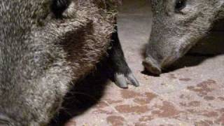 FOUR JAVELINAS RAIDING our PATIO TONIGHT: EXTREME CLOSE-UPS of COLLARED PECCARIES!