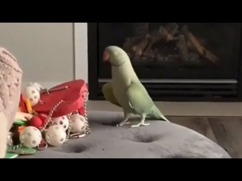 Dancing parrot shows off moves for camera