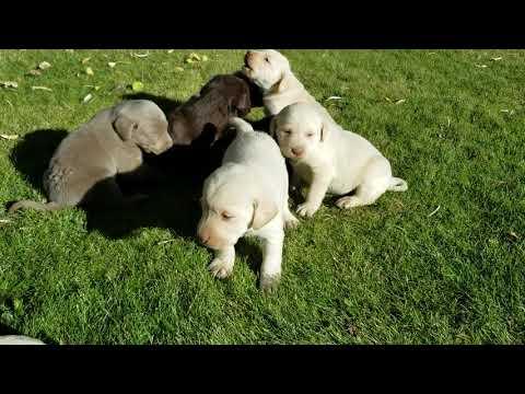Creamy Lab Puppies THE BEST