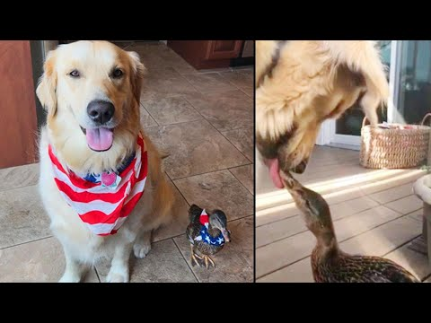 Dog And Duck Make Unlikely Best Friend Duo