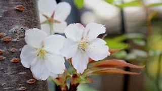 小さな窓の花ごよみ288INTHESPRING♪みじかくも美しく燃えモーツァルト神崎愛フルート♪
