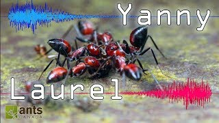 """ANTS: Do You Hear """"YANNY"""" or """"LAUREL""""? (Can ANTS Be CONFUSED, too?)"""