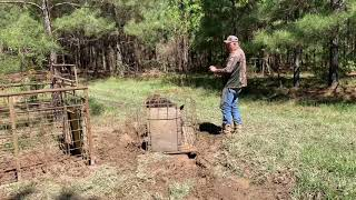 Razorback Hogs In The Trap