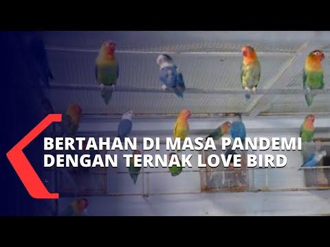 Kisah Warga Palembang Bertahan di Masa Pandemi dengan Beternak Love Bird
