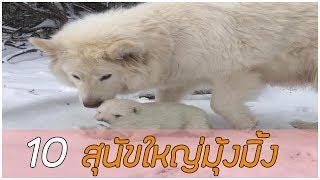 10 สายพันธุ์ สุนัขตัวใหญ่ แต่หัวใจมุ้งมิ้ง !!
