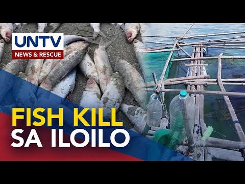 [UNTV]  Mahigit 400 kilo ng bangus sa Buenavista, Guimaras namatay dahil sa oil spill