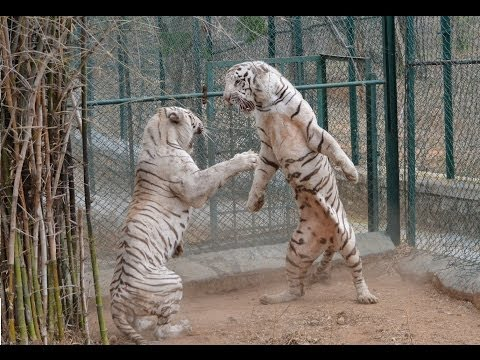 87906749eb8 DO NOT Make White Tiger Angry - EVER !!