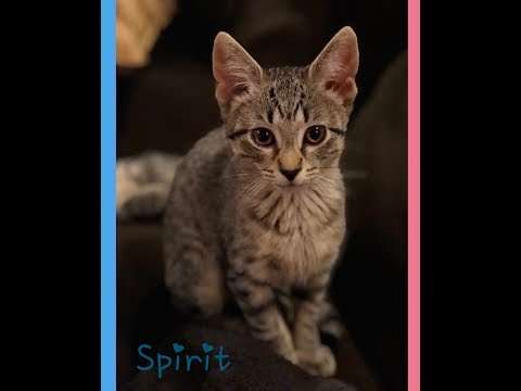 Spirit, an adoptable Domestic Short Hair in Boiling Springs, PA