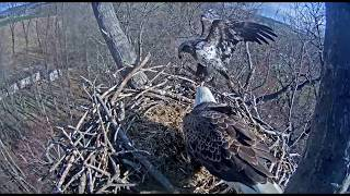 WHAT is Happening?!?  Hanover eagles nest  April 5, 2018