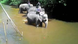 Aktiviti Gajah Mandi Sungai Di Kuala Gandah