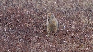The Arctic ground squirrel sheds light on circadian rhythms - Science Nation