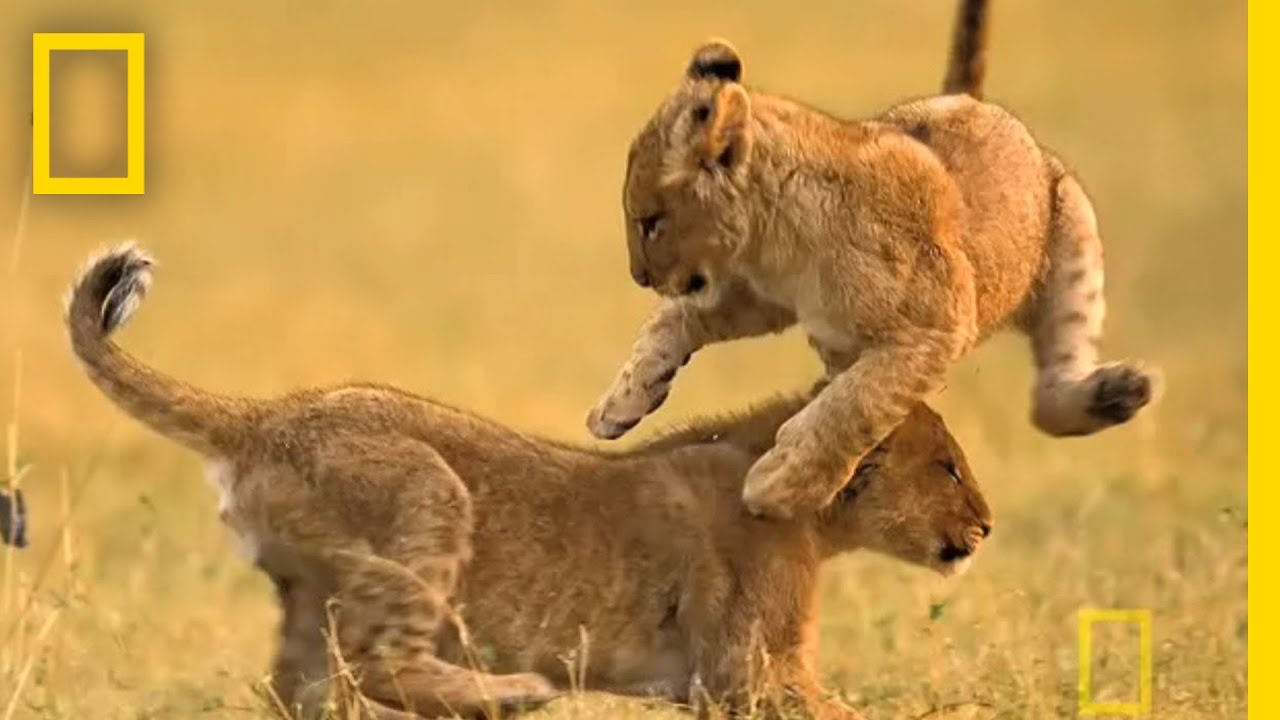 Fight, Fight! | National Geographic thumbnail
