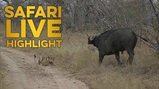 The first of the dry season buffalo hunts!