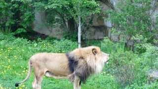 preview picture of video 'roaring lion at Zlin-Zoo'