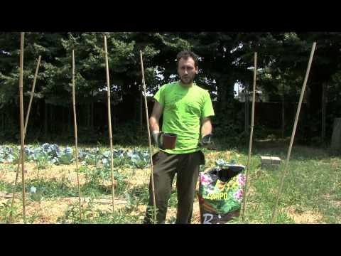 Coltivazione pomodori: concimazione e rincalzatura
