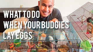 What to Do When Your Budgies/Parakeets Lay Eggs