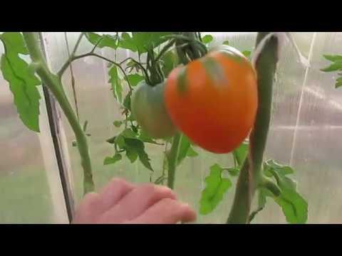 Урожаем томатов довольна.18.08.2019