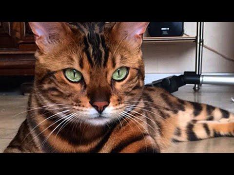 Kucing Harga Setengah Juta?! – Top 10 Kucing Mahal Di Dunia