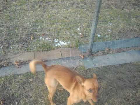 Ryker, an adoptable Shiba Inu & Chihuahua Mix in Fulton, NY