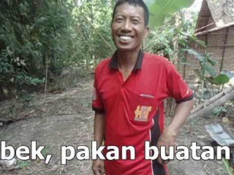 Video Untung Bersih 4,5 Juta Hanya 35 Hari Panen Ternak Bebek Pedaging Pola Nogososro Sabuk Inten