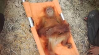 Why Orangutans are endangered and how you can help