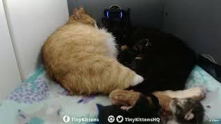 Feral mama cat Ramona helps her friend Chloe give birth! TinyKittens.com