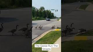 The Geese Run The Streets