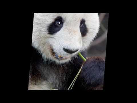 Epic Panda Song 2017