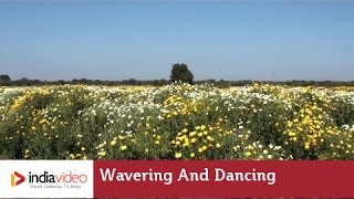 Wavering and dancing in the breeze