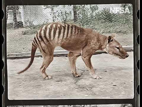 Extinct Tasmanian Tiger Captured in Color