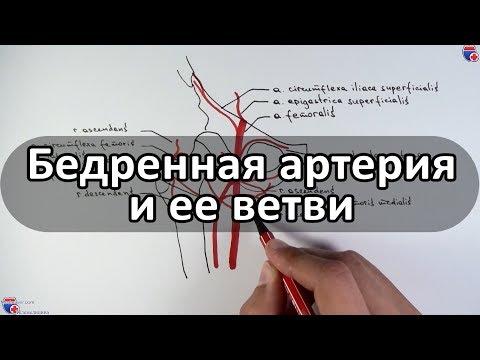 Бедренная артерия и ее ветви - meduniver.com