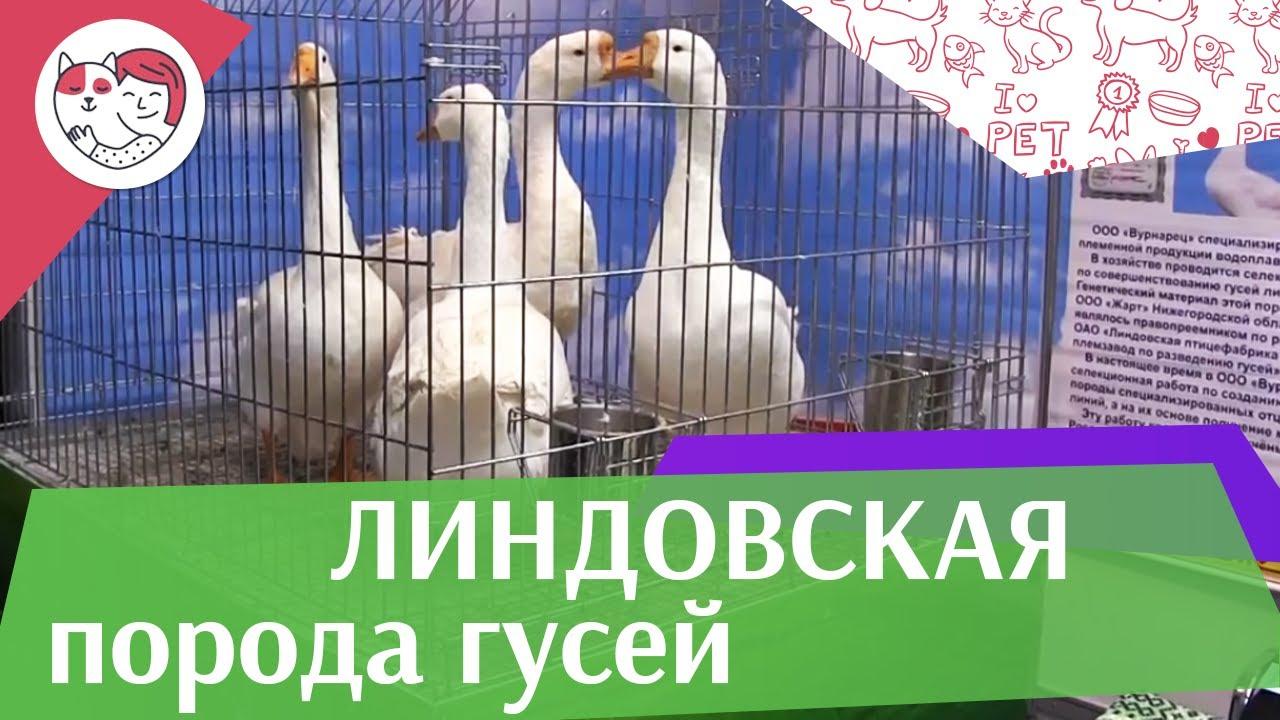 Порода  гусей ЛИНДОВСКАЯ  Агропромышленная выставка Золотая  осень 2016 iLikePet