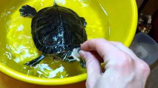 Кормление красноухой черепахи Флоры