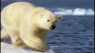 Polar bear habits   Wild: Polar Bear Diary   BBC