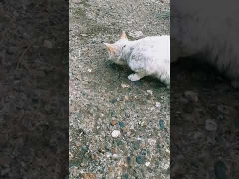 Папа поймал коту Голуба глазу мышку, кушай котик!
